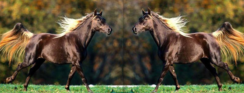 Rocky Mountain Saddle Horse