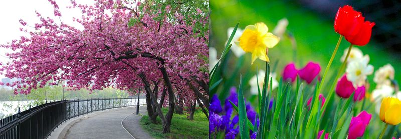 6. spring blossoms in Central Park