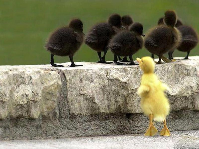 Happy Friday! chicks